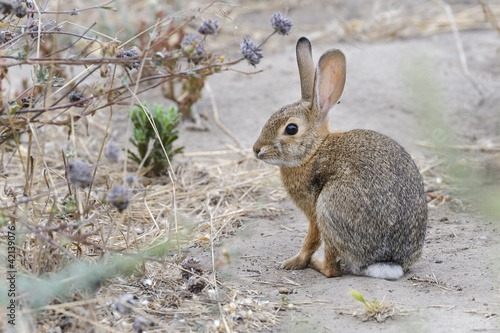 desert cottontail rabbit, sylvilagus audubonii, california