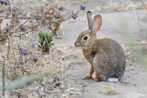 desert cottontail rabbit, sylvilagus audubonii, california