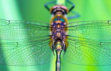 A dragonfly (Cordulia aenea)