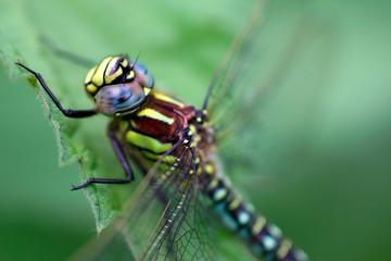 A dragonfly (Aeshna viridis)