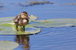 Duckling standing on a water lily leaf