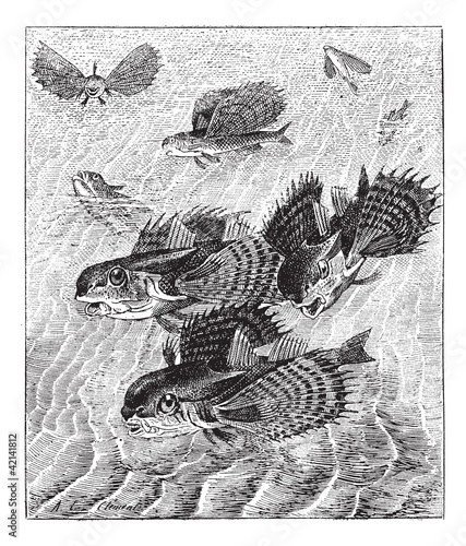 Flying gurnard or Dactylopterus volitans, vintage engraving.