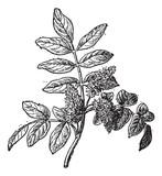 Mastic or Pistacia lentiscus, vintage engraving poster