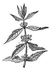 Motherwort or Leonurus cardiaca, vintage engraving