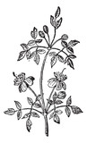 Liana, vintage engraving