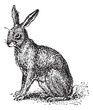 Hare or Lepus sp., vintage engraving