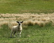 watchfull lamb in meadow