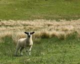 watchfull lamb in meadow