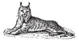 Lynx or Bobcat or Lynx lynx, vintage engraving - 42145050