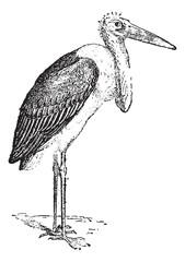 Marabou Stork or Leptoptilos crumeniferus, vintage engraving