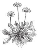 Common Daisy or Bellis perennis, vintage engraving
