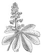 Indian Chestnut or Aesculus sp., vintage engraving