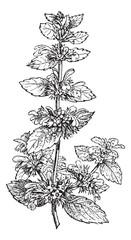 Black Horehound or Ballota nigra, vintage engraving