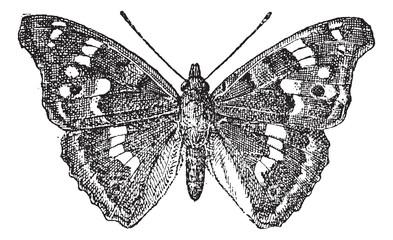 Lesser Purple Emperor or Apatura ilia, vintage engraving