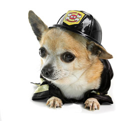 Firefirghter Chihuahau