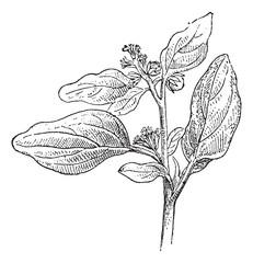 Maurelle or Chrozophora tinctoria, vintage engraving