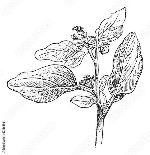 Maurelle or Chrozophora tinctoria, vintage engraving