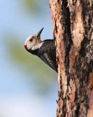 Woodpecker on pine tree