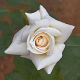 pale white rose, floral background