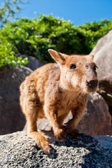 Rock wallaby, Magnetic Island, Australia