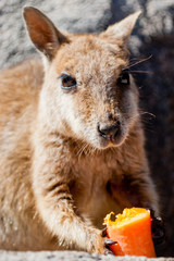 Rock wallaby eating a carrot, Magnetic Island, Australia