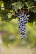 Bunch of black grapes on vine
