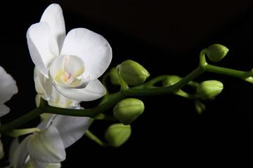 Orchidea bianca - Phalaenopsis