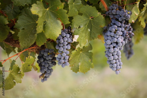 Bunches on red grapes on a vine