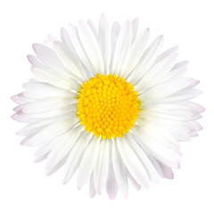 White Daisy Flower with Yellow Center Isolated on White