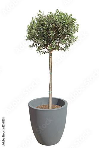olivier taillé en boule