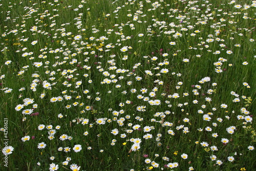 meadow, grass, flowers