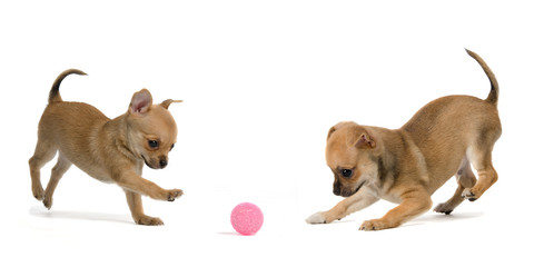 Two puppies playing ball