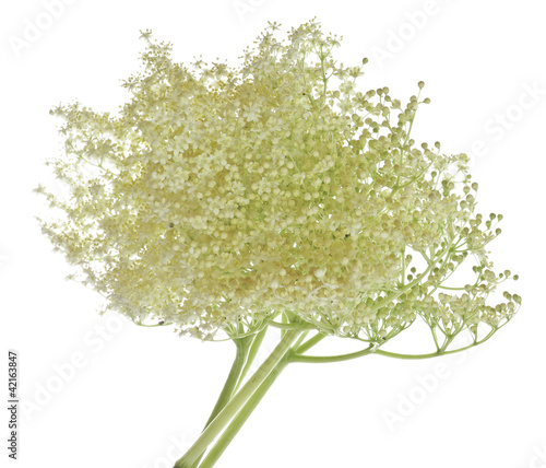 European black elder healthy herb -  flower