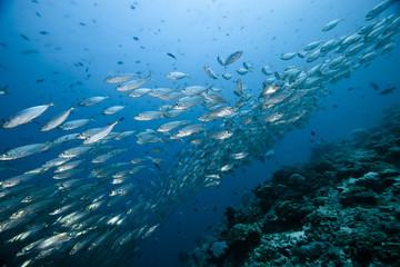 Caesionidae shoal