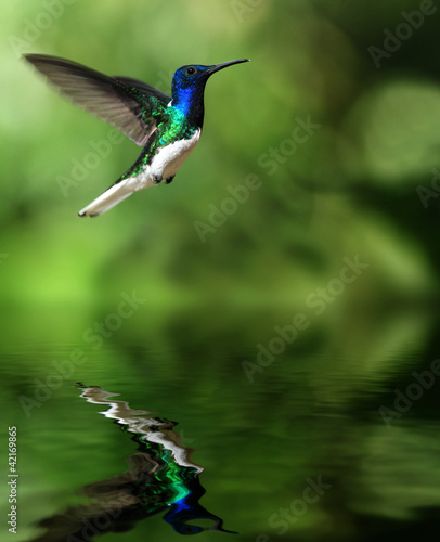 canvas print picture Kolibri über Wasser