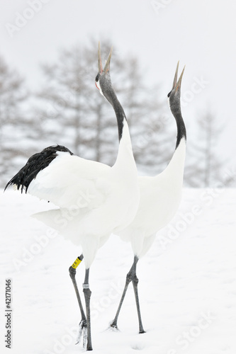 Two Red-crowned Cranes display courtship.