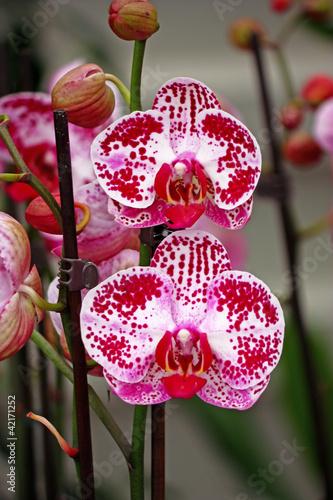 Fototapeten,orchidee,blühen,exotisch,blume