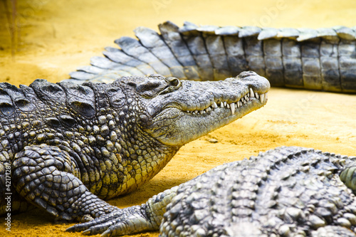 Group of Alligators laying on the sand