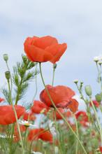 Fleurs rouges coquelicot
