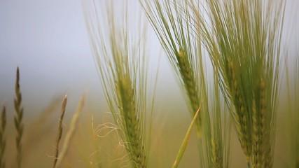 Nahaufnahme Getreide im Wind