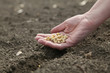Agriculture, human hand holding soy beans, sowing