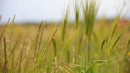 Grünes Getreide bewegt sich im Wind
