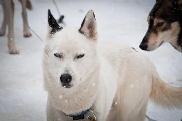 Siberian Husky 3