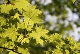 Ahornblätter im Sonnenlicht