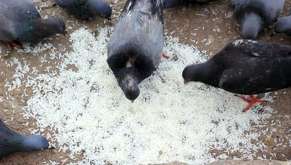 Feed Pigeon with rice