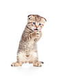 funny young  cat is standing