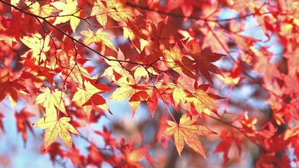 Autumn Leaves in Momiji mountain,Yamanashi,Japan_3