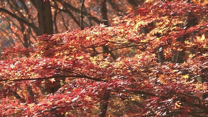 Autumn Leaves in Momiji mountain,Yamanashi,Japan_5
