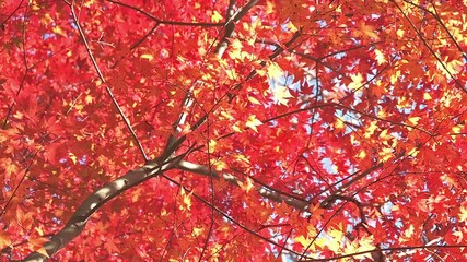 Autumn Leaves in Momiji mountain,Yamanashi,Japan_6