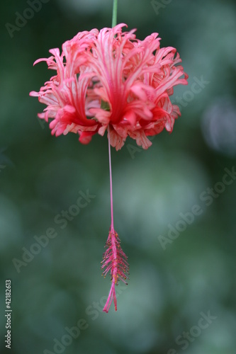 hibiscus rossinensis or shoe flower